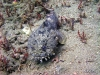 Jacksonville Toadfish