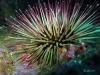 Jacksonville Florida Sea Urchin