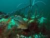 sea bass anchor