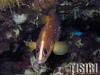 Jacksonville Soapfish