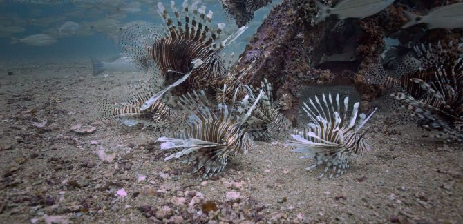 Lionfish Found in Cold Up-Welling Waters