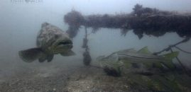 Goliath Grouper National Geographic Story