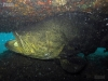 atlantic-goliath-grouper