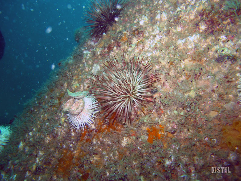 double sea urchins