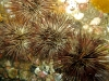 ff-jacksonville-reef-growth-urchins