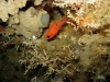 cardinalfish-hg-ledge-jacksonville-fish