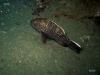 hg-florida-reef-sea-bass