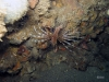 hg-jacksonville-ledge-reef-lionfish