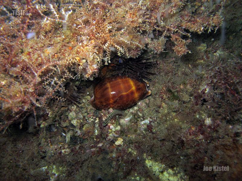 4-reef-cowry