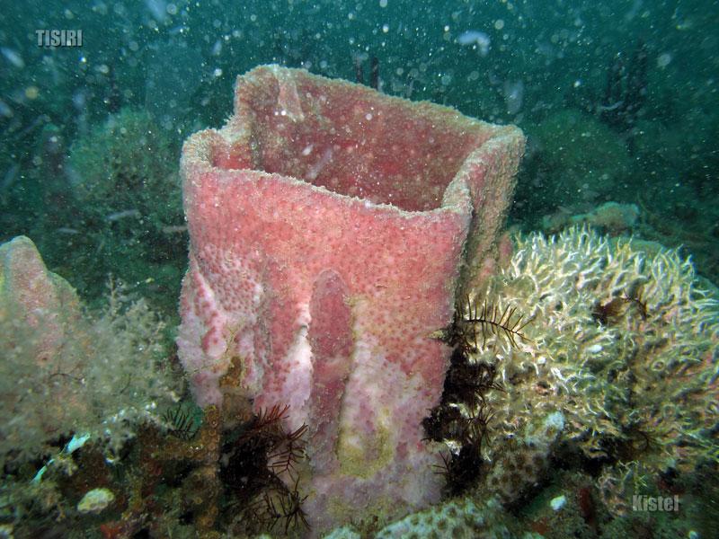 barrel-sponge
