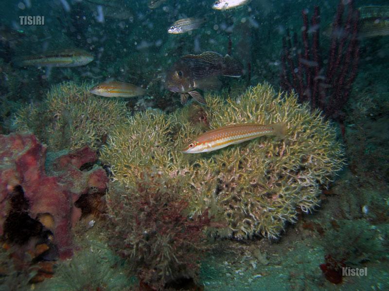 reef-wrasse