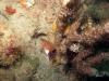 florida-belted-sandfish
