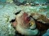 st-augustine-octopus