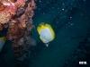 spotfin-butterflyfish-chaetodon-ocellatus