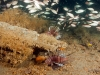 jacksonville-lionfish-reef