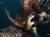 lionfish-stringer