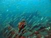 Little Barge Reef, St Augustine, schooling bait