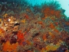 Little Barge Reef, St Augustine, encrusting life