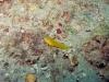 Little Barge Reef, St Augustine, seaweed blenny