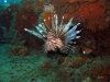Invasive Red Lionfish