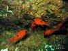cardinal-pile