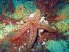 sea star jacksonville