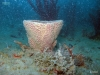 Netted Barrel Sponge