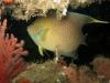 blue-anglefish-st-augustine