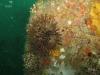 sea-urchin-flroida