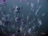 14-florida-schooling-spade-fish