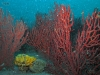 north-florida-red-coral