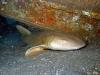 Taylor Reef, St. Augustine, nurse shark