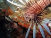 Taylor Reef, St. Augustine, lionfish