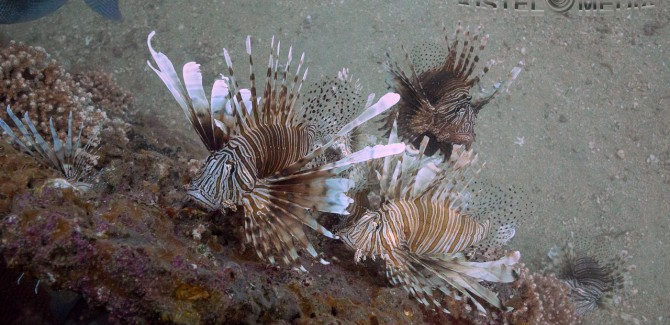 Lionfish Hunt, Sell, Eat… National Geographic Story
