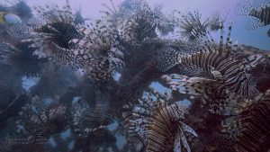 Invading Lionfish Swarm